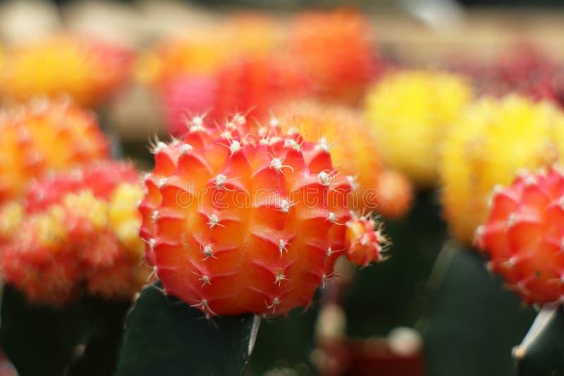Цветастый кактус в баках стоковые фото
