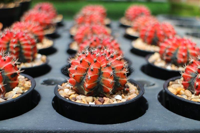 Цветастый кактус в баках стоковая фотография rf