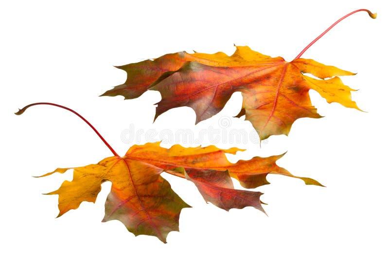 цветастый клен листьев стоковое изображение rf