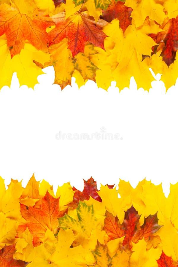 цветастый клен листьев стоковые фотографии rf