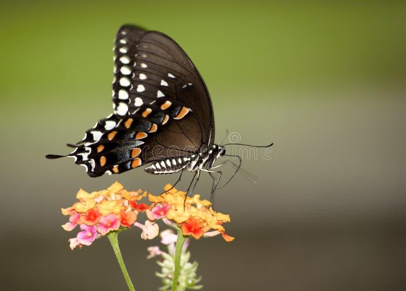 цветастый монарх стоковое изображение rf