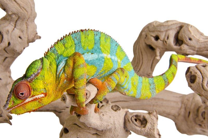 Цветастый хамелеон. стоковое фото