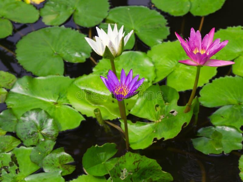 Цветастый цветок лотоса лилии воды 3 стоковое изображение rf