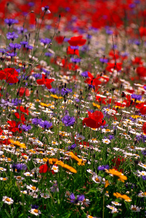 цветастый wildflower лужка Англии стоковая фотография rf
