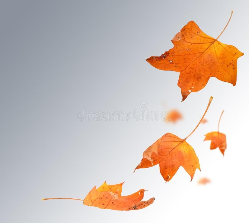 Цвета лист осени изолированные для предпосылки стоковые изображения rf