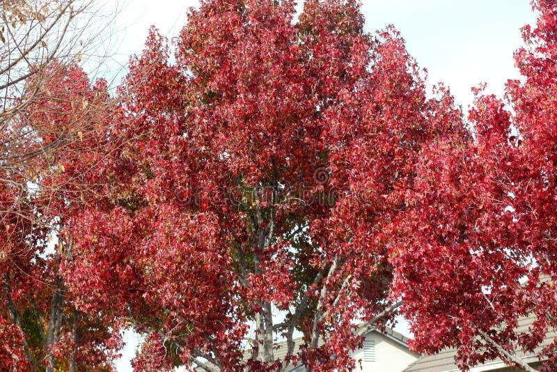 Цвета осени американского sweetgum, styraciflua Liquidambar стоковое изображение rf