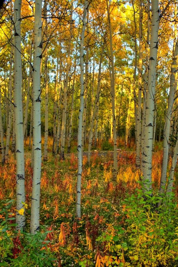 Цвета осени в лесе осины в Юконе стоковое изображение