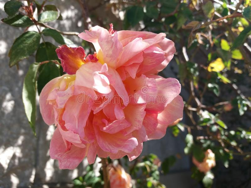 Цвета персик подняло стоковое фото rf