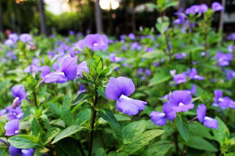 Цвета поднимающего вверх и селективного фокуса конца фиолетовые красивого цветка зацветая с зеленой предпосылкой лист стоковое фото
