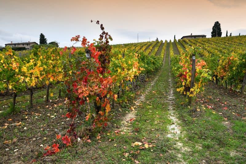 Цвета сезона осени на тосканских виноградниках в регионе Chianti около Флоренс стоковая фотография rf