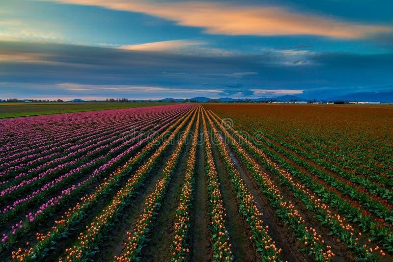 Цвета тюльпана гребут в долине Skagit, штате Вашингтоне стоковые фото