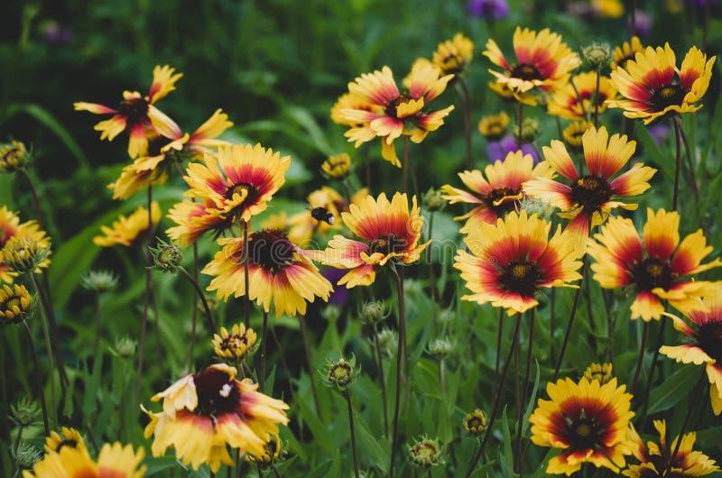 Цвета Flowerbed восхитительные среди суматохи города i Палитра теплых цветов в показанных цветах Gelenium стоковые изображения rf