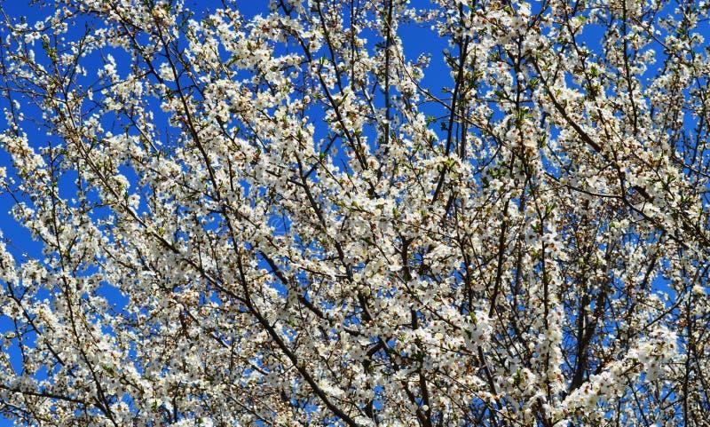 Цветене весны в России цветков вишневых деревьев белых стоковая фотография