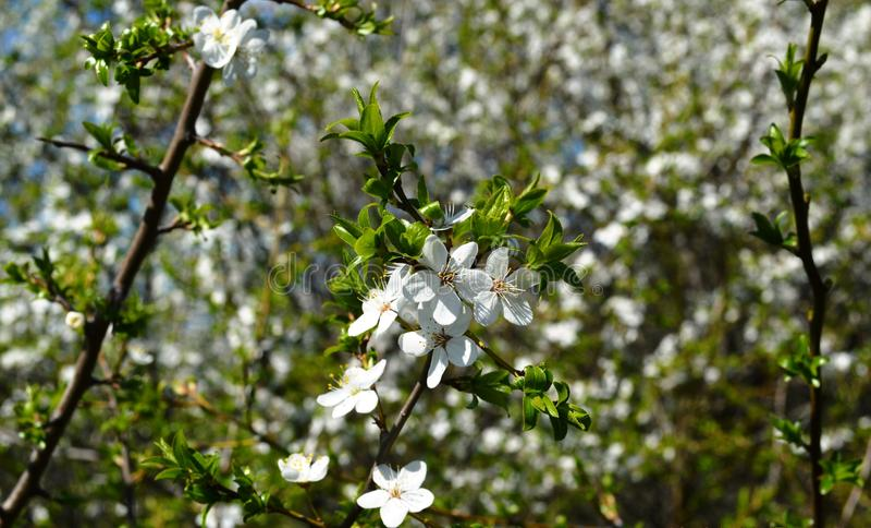 Цветене весны в России цветков вишневых деревьев белых стоковые фотографии rf