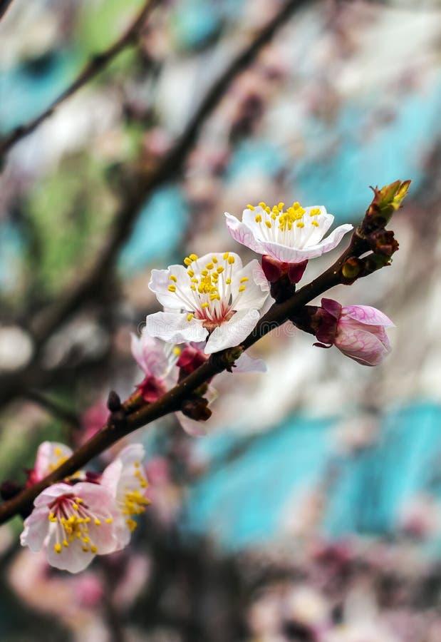 Цветене весны дерево с розовыми цветками на запачканной предпосылке стоковые изображения