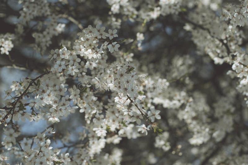 Цветене весны, blossomcherry цветки, запачканное абстрактное backgroud стоковое изображение rf