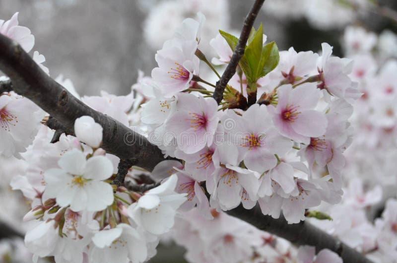 Цветене группы вишневого цвета полностью стоковые фото