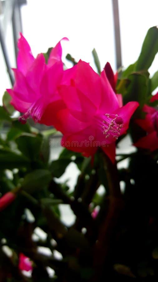 Цветене кактуса стоковые изображения
