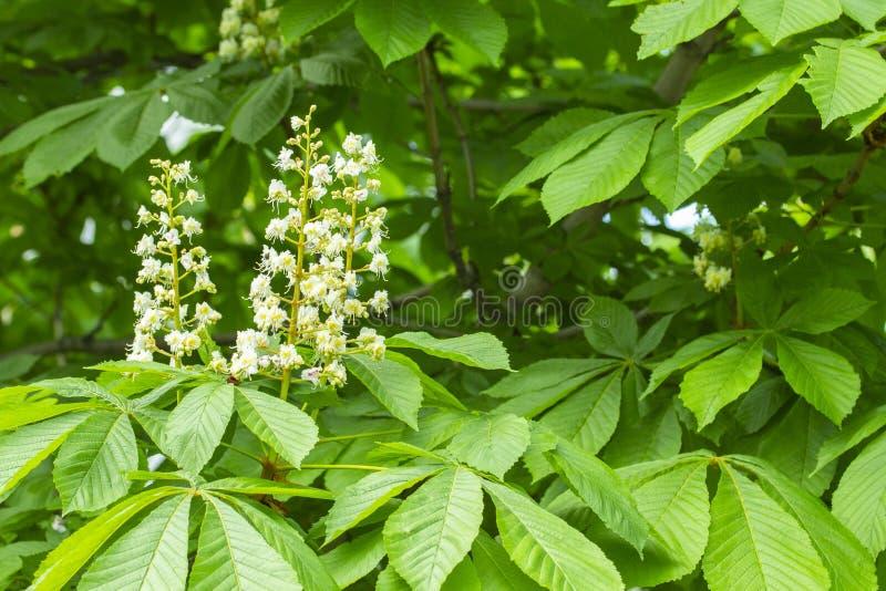 Цветене конского каштана весной, белые конусы свечи в зеленой листве дерева Оформление парка дизайна ландшафта стоковое изображение