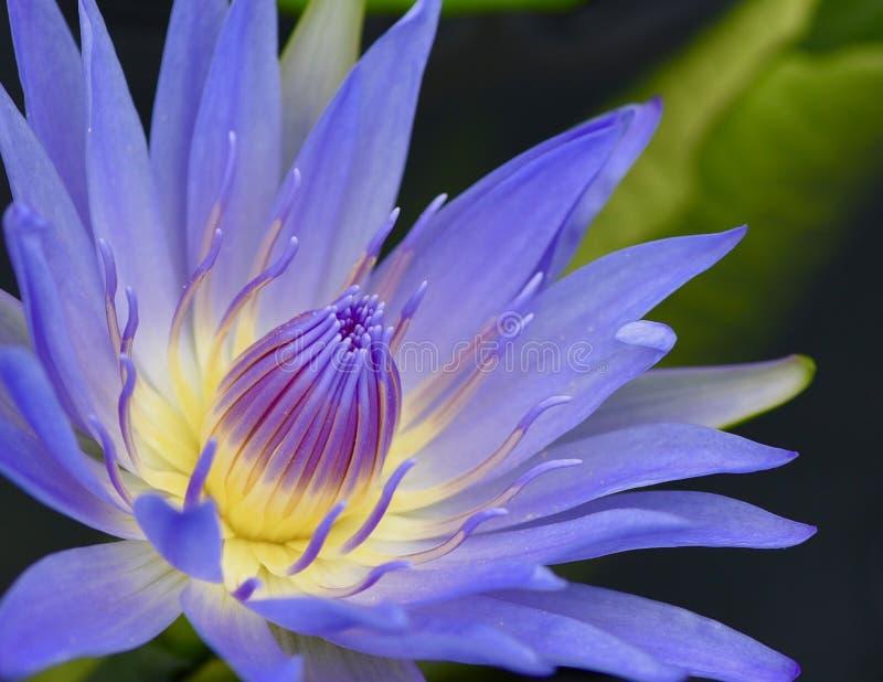 Цветене лилии воды полностью стоковые изображения
