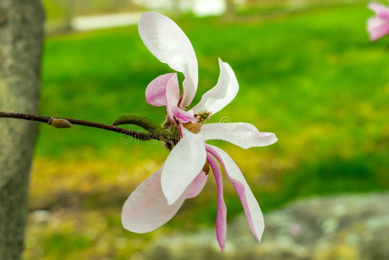 Цветене магнолии стоковое фото