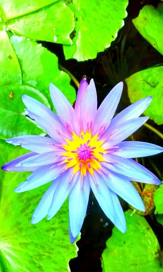 Цветене лотоса стоковая фотография rf