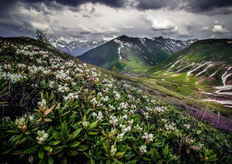 Цветене рододендрона стоковая фотография