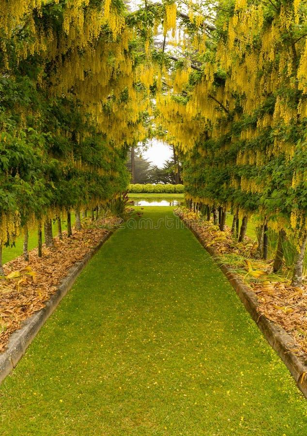 Цветене свода Laburnum полностью над путем травы стоковое фото