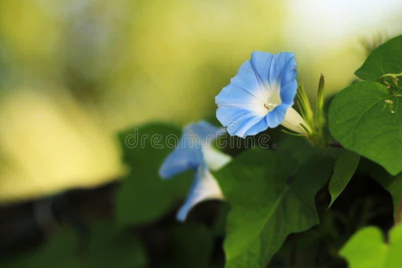 цветене славы утра полностью стоковая фотография