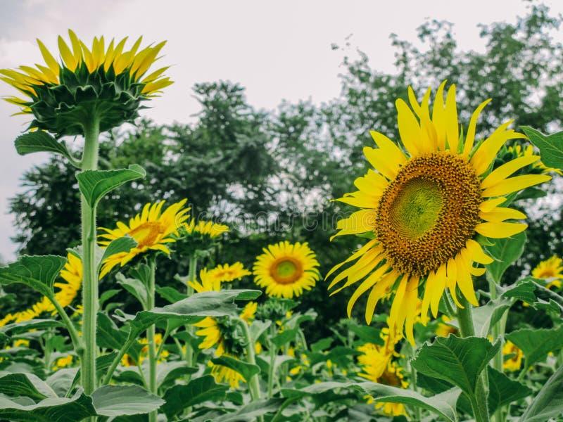 Цветене солнцецвета полностью в поле солнцецветов на пасмурный день стоковые фотографии rf