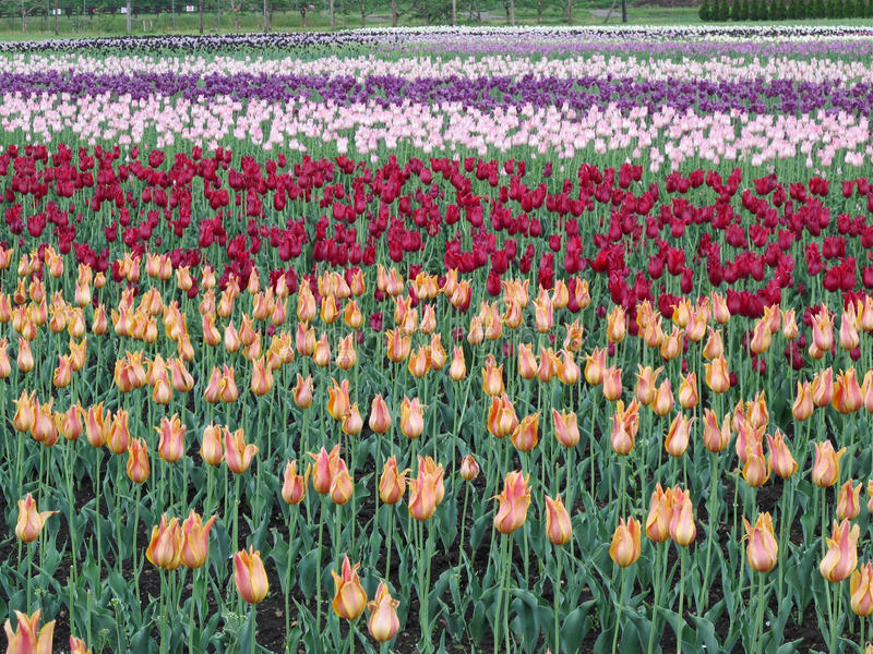 Цветене тюльпана полностью стоковые фотографии rf