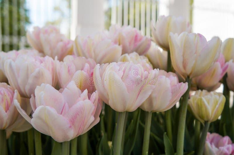 Цветене тюльпанов весны полностью в парке стоковое фото