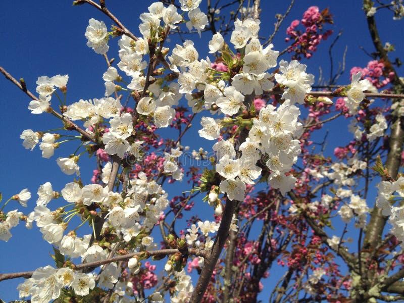 Цветене цветений во времени весны в апреле стоковые фотографии rf