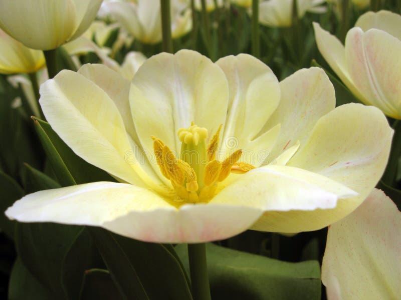 цветене цветет белизна стоковое фото
