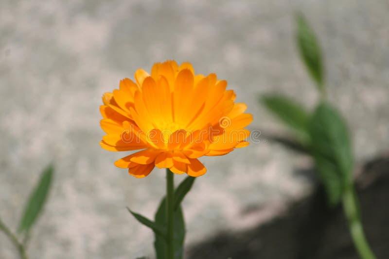 Цветене цветка в Кашмире стоковые фотографии rf