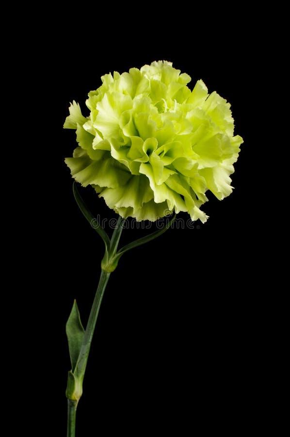 Цветене цветка гвоздики изолированное на темной предпосылке стоковые фотографии rf