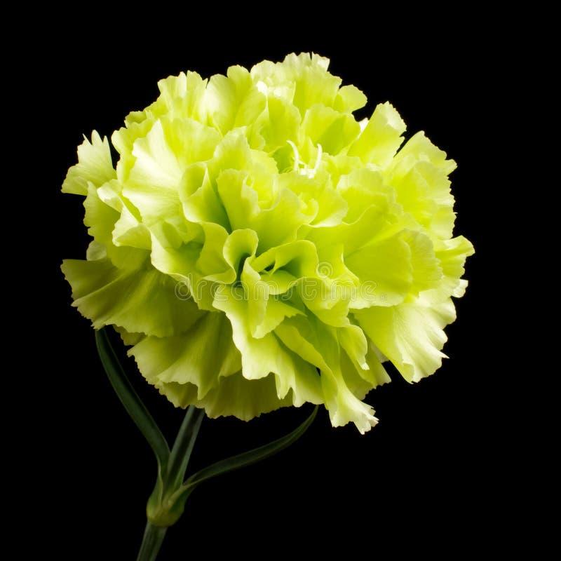 Цветене цветка гвоздики изолированное на черной предпосылке стоковые изображения