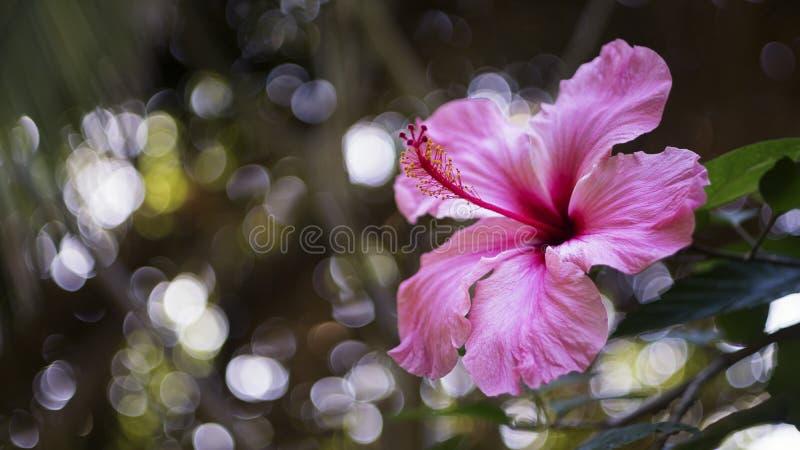 цветене цветка гибискуса стоковое изображение rf