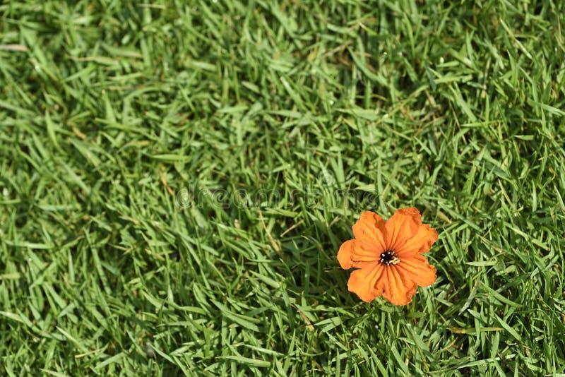 Цветене цветка конца-вверх оранжевое на зеленой траве или sward, текстуре предпосылки настольного компьютера стоковое изображение