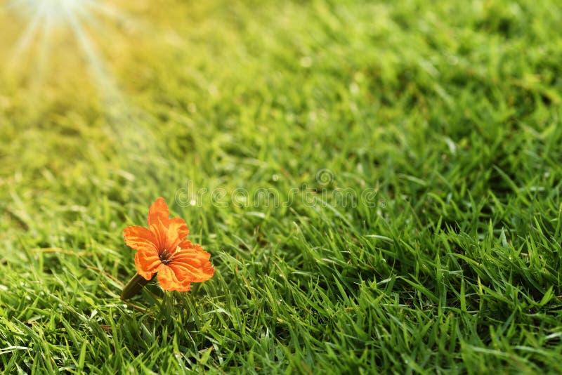 Цветене цветка конца-вверх оранжевое на зеленой траве или sward, текстуре предпосылки настольного компьютера стоковое изображение rf