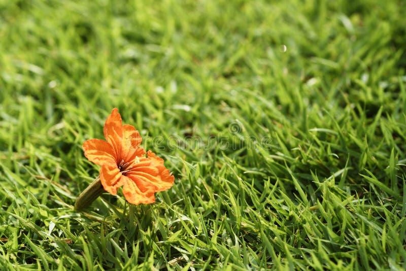 Цветене цветка конца-вверх оранжевое на зеленой траве или sward стоковое изображение rf