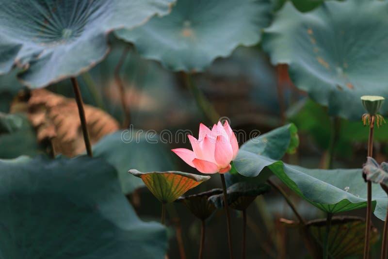 Цветене цветка лотоса полностью в пруде стоковое изображение