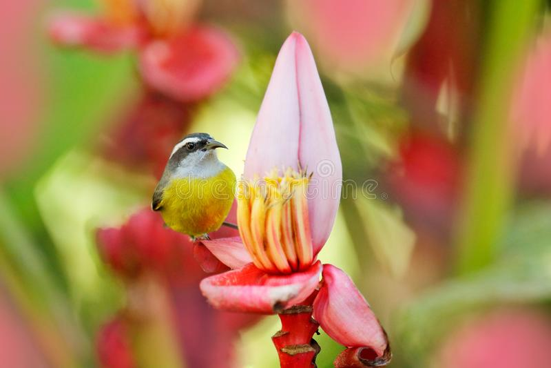 Цветене цветка пинка банана красное с птицей Bananaquit, flaveola Coereba, экзотическая тропическая воробьинообразная птица сидя  стоковое фото rf