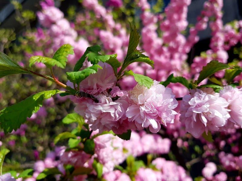 Цветене Chery стоковые фотографии rf