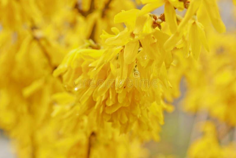 Цветене Forsythia в деревне после конца-вверх дождя r желтые цветки на оливковом дереве стоковые изображения
