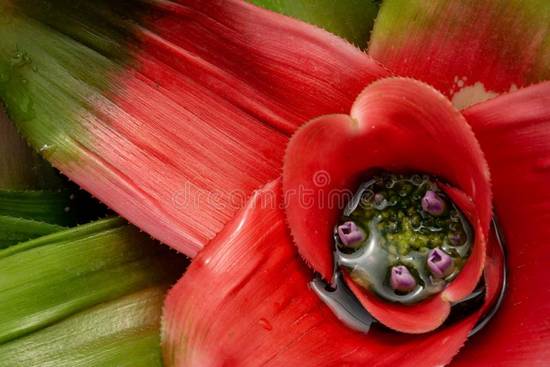 Цветене Neoregelia с пурпурными цветками стоковые фото