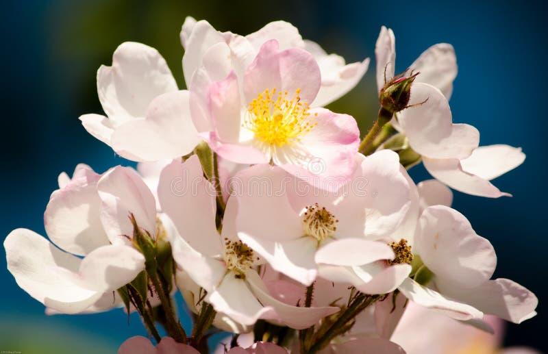 Цветене Springtim в пурпуре стоковая фотография