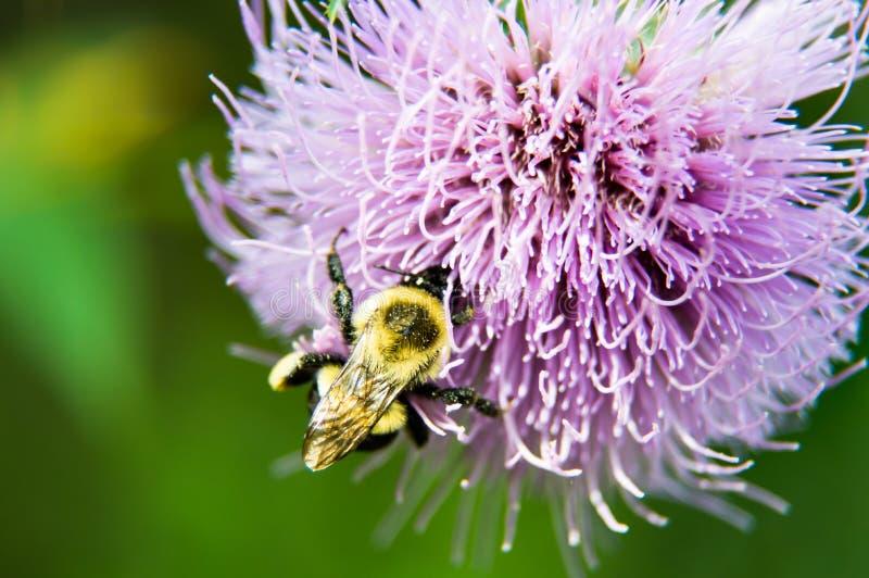 Цветене Thistle лаванды и путает пчела стоковые фотографии rf