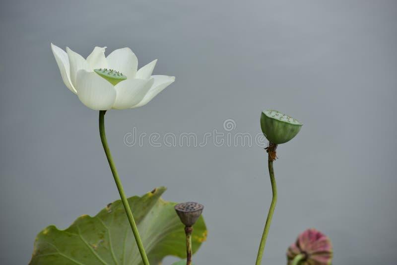 Цветение белого лотоса полное стоковые изображения