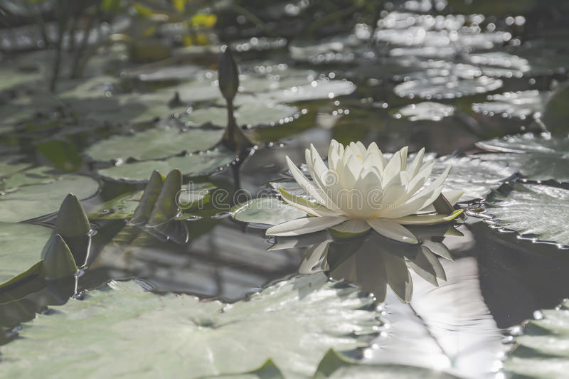 Цветение белого лотоса стоковые фото
